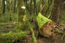 Free Mossy Forest Royalty Free Stock Photo - 14209495