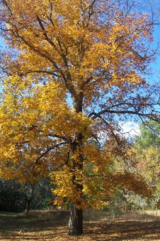 Free Hickory Tree In Fall Royalty Free Stock Photography - 142088527