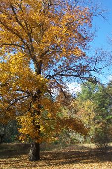 Free Hickory Tree In Fall 3 Royalty Free Stock Photos - 142088528