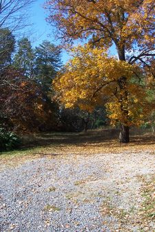 Free Hickory Tree In Fall 2 Stock Images - 142088534