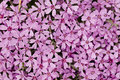Free Phlox In Full Frame Stock Images - 14214344