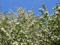 Free Apple-tree Blossom Stock Photos - 14217363