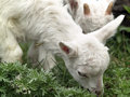 Free Small Goat Cubs Eating Grass Royalty Free Stock Images - 14219569