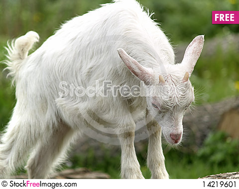 Small goat cub eating grass Stock Photo