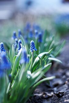 Spring Young Blue Flowers Royalty Free Stock Images