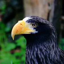 Free Steller S Sea Eagle Stock Photos - 14211593