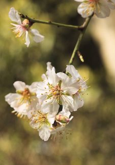 Free Branch Cherry Flowers Blossom Stock Image - 14211671
