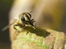 Honeybee On A Leaf Stock Images
