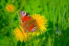 Free Beautiful Butterfly And Yellow Dandelion. Royalty Free Stock Photo - 14213625