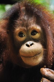 Face Of An Orang Utan Royalty Free Stock Photos