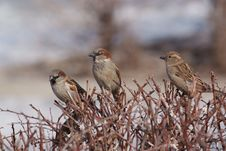 Free Three Sparrows On The Brushwood Royalty Free Stock Photography - 14214847