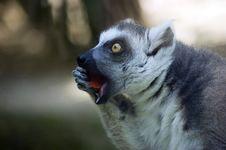 Free Lemur Catta Royalty Free Stock Photography - 14215177