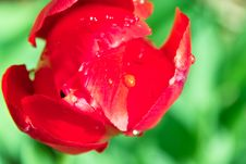 Free Red Tulip Royalty Free Stock Images - 14215329