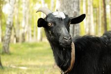 Free Goat (close Up) Royalty Free Stock Photography - 14215937
