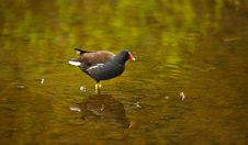 Free A Moorhen Royalty Free Stock Photography - 14217067