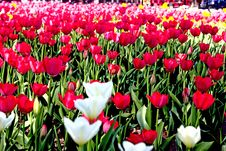 Free Spring Field Of Tulips Stock Photo - 14217210