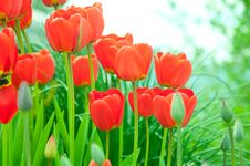 Free Red Tulips Stock Photos - 14217303
