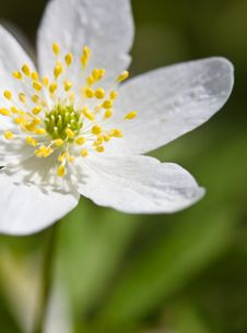 Free Wood Anemone Stock Images - 14217424