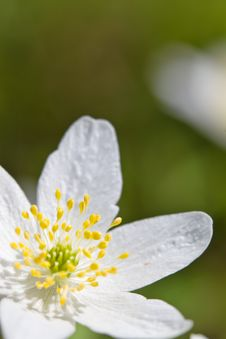 Free Wood Anemone Royalty Free Stock Images - 14217439