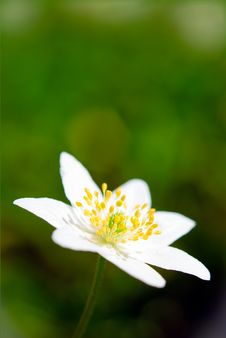Free Wood Anemone Royalty Free Stock Image - 14217456