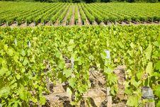 Free Big Vineyard Rows Stock Photos - 14217603