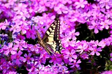 Free Butterfly Royalty Free Stock Photos - 14218178