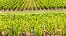 Free Big Vineyard Royalty Free Stock Image - 14218486