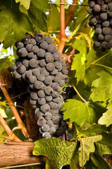 Bunch Of Ripe Red Wine Grapes Close Up