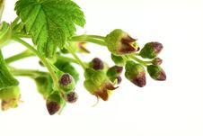 Currant Branch Royalty Free Stock Photography