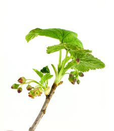 Currant Branch Stock Photo