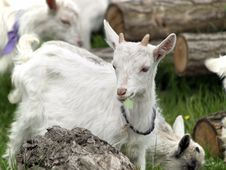 Free Small Goat Cubs Eating Grass Stock Photo - 14219580