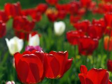 Free Red Tulips In Garden Stock Photography - 14219652