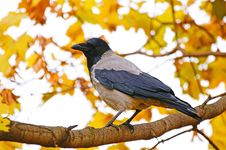 Crow On A Background Of Yellow Autumn Leaves Stock Photo