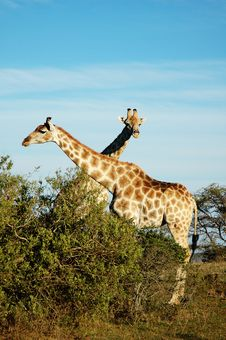 Free Giraffes Royalty Free Stock Photography - 14219957