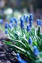 Free Spring Young Blue Flowers Stock Photo - 14220950