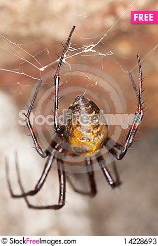 European cave spider (Meta menardi) Stock Photo