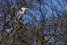 Grey Heron Bird Sitting In A Tree Royalty Free Stock Images