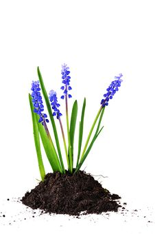 Free Blue Hyacinths Stock Photography - 14220422