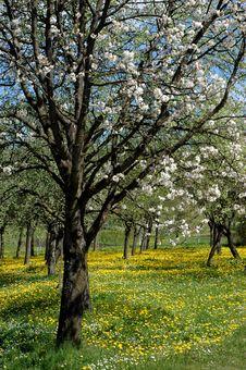 Free Spring Blooming, Wonderful Intense Colors Stock Image - 14220521