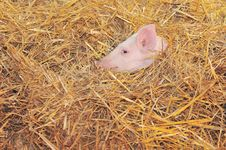 Free Pig Royalty Free Stock Photography - 14220527
