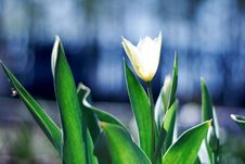 White Spring A Young Tulip Stock Images