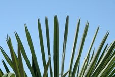 Free Palm Tree S Leafe Royalty Free Stock Photos - 14220658
