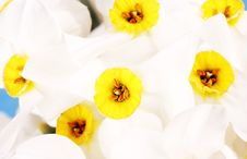 Free Narcissus Stock Photography - 14220882