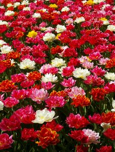 Red, Pink, White Tulips Flowerbed. Royalty Free Stock Photography