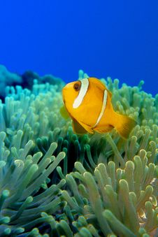 Free Clownfish Over Anemoni 0002 Stock Photography - 14221432