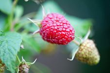Free Raspberry Royalty Free Stock Images - 14221499