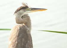 Free Heron Portrait Royalty Free Stock Images - 14221519