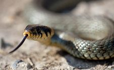 Free The Grass Snake Royalty Free Stock Photo - 14221535