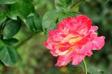 Free China Rose With Pink Color Stock Photography - 14221622