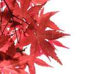 Free Red Maple Leaves Royalty Free Stock Photos - 14221658